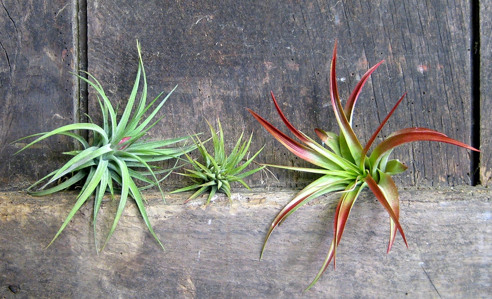 growing and caring for your air plants. Black Bedroom Furniture Sets. Home Design Ideas