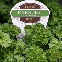 Parsley, Curly - 3.5""