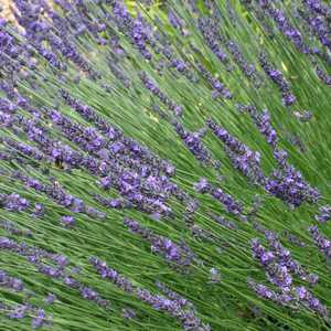 Lavender , French - 3.5""