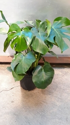 "10"" Philodendron- Monstera"