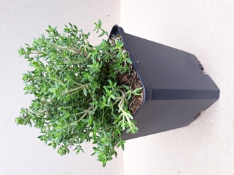 Thyme, French/English - 3.5""